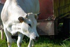 коровы пася Стоковые Изображения