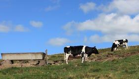 коровы пася Стоковые Фотографии RF