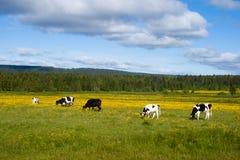 коровы пася Стоковые Фото