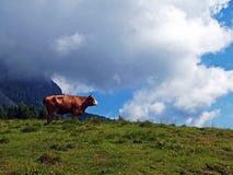 коровы пася Стоковое Фото