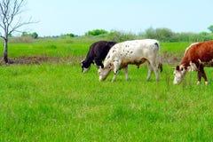 коровы пася 3 Стоковое Фото