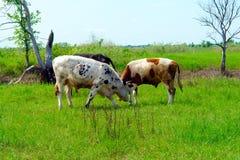 коровы пася 3 Стоковое фото RF