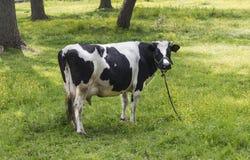 коровы пася Стоковые Изображения RF