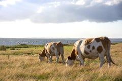 коровы пася Стоковое Изображение