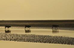 Коровы пересекая подпоры на everning Стоковое Изображение