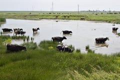 коровы пересекая пруд группы Стоковое Фото