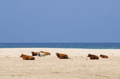 коровы пляжа Стоковая Фотография