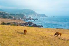 Коровы подавая на выгоне в большом Sur, Калифорнии Стоковые Фотографии RF