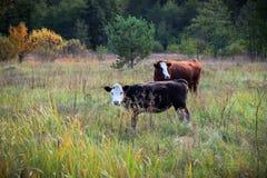 2 коровы положенной вниз в зеленый луг Стоковое Изображение RF