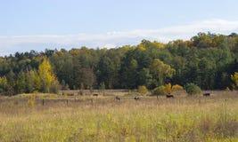 коровы положенные вниз в зеленый луг Стоковые Изображения