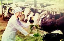 Коровы положительной женщины подавая с травой на cowhouse стоковые изображения rf
