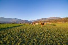 Коровы под словенскими горными вершинами Стоковые Изображения RF
