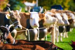 Коровы получая готовый для Aelplerfest Стоковое Фото