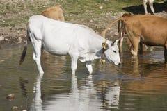 Коровы получая питье на озере Стоковая Фотография