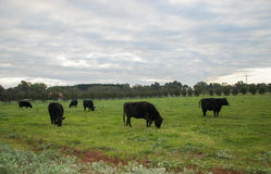 Коровы под Twilight небом Стоковая Фотография
