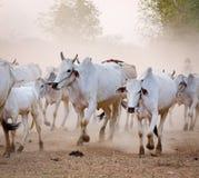 Коровы приходят назад самонавести на заходе солнца в Bagan, Мьянме Стоковое Изображение RF