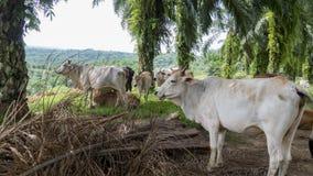 Коровы сидя в долине поля обозревая Стоковое Изображение