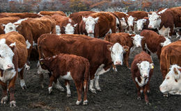 Коровы скотин Hereford Стоковое фото RF