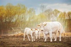 Коровы смотря в камеру на заходе солнца Стоковые Изображения RF