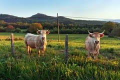 2 коровы смотря за загородкой Стоковое Изображение
