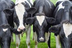 Коровы, стороны закрывают вверх Стоковые Фотографии RF