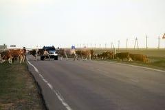2 коровы стоя внутри и преграждая дорогу пока автомобиль причаливает Стоковые Фотографии RF