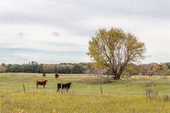 Коровы стоя в выгоне Стоковые Фото