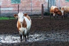 Коровы стоя в грязи на скотоводческом хозяйстве. Стоковые Фото