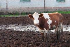 Коровы стоя в грязи на скотоводческом хозяйстве. Стоковое Фото