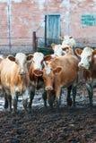 Коровы стоя в грязи на скотоводческом хозяйстве. Стоковое Изображение