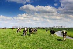 Коровы стоя в злаковике в Голландии Стоковые Изображения RF