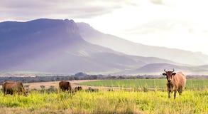 Коровы стоя в поле есть траву Стоковая Фотография RF