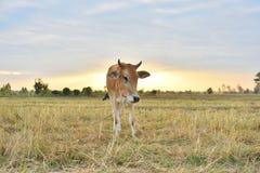 Коровы стоя в полях на восходе солнца и красивом небе Стоковые Фото