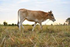 Коровы стоя в полях на восходе солнца и красивом небе Стоковое фото RF