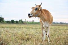 Коровы стоя в полях на восходе солнца и красивом небе Стоковые Фотографии RF