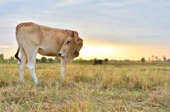 Коровы стоя в полях на восходе солнца и красивом небе Стоковое Изображение RF