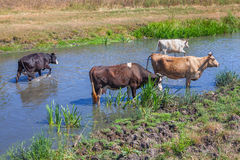 Коровы стоя в реке Стоковая Фотография