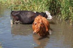 2 коровы стоя в реке Стоковые Фото