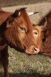 2 коровы стоя и показывая привязанность в позднем вечере su Стоковые Фото