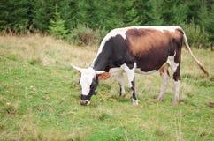 Коровы стоя на зеленом поле с горами и есть траву Предпосылка Карпатов Стоковая Фотография RF