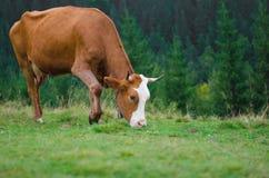 Коровы стоя на зеленом поле с горами и есть траву Предпосылка Карпатов Стоковые Изображения