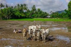 Коровы стоя на поле Стоковое Фото