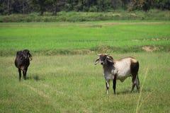 Коровы стоя на поле Стоковые Изображения RF