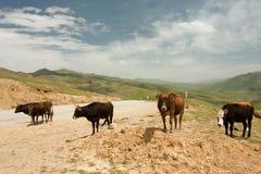 4 коровы стоя на проселочной дороге между горами Стоковые Фото