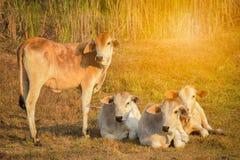 Коровы стоя на траве в поле Стоковое Изображение RF