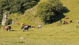 Коровы стоя на луге лета Стоковые Изображения
