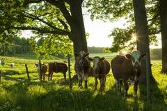 Коровы стоя outdoors на поле в Швеции Стоковое Изображение