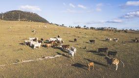 Коровы страны на ферме Стоковые Фотографии RF
