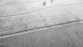 Коровы страны на ферме Стоковая Фотография RF