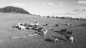 Коровы страны на ферме Стоковые Изображения RF